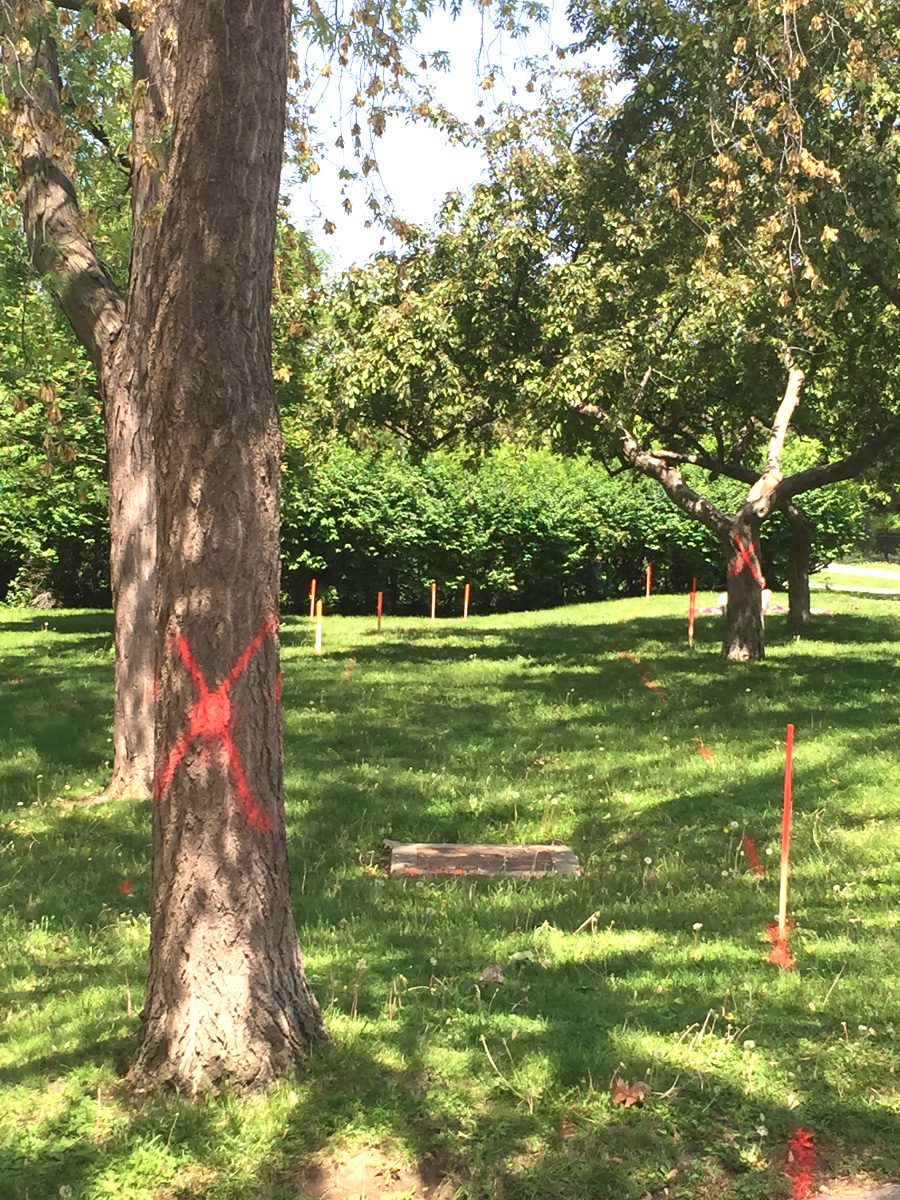 Two of several trees marked for removal